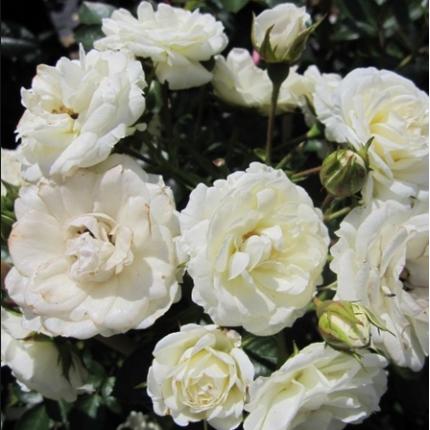 Троянда штамбова плетиста Вальс 1 прививка