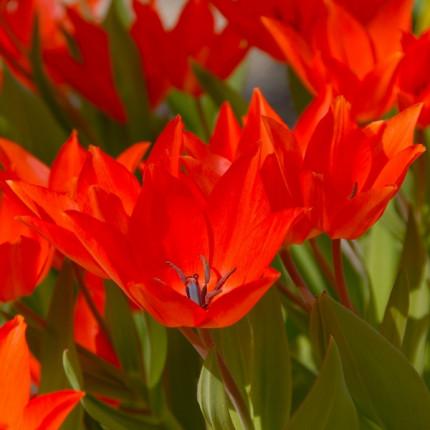 Тюльпан Ботанический Linifolia 5/+