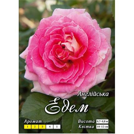 Троянда англійська Едем клас А