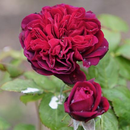 Роза штамбовая Бисантенэр де Гийо 2 прививки