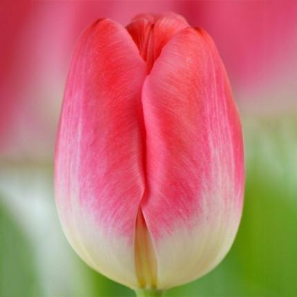 Тюльпан триумф Supermodel 12/+