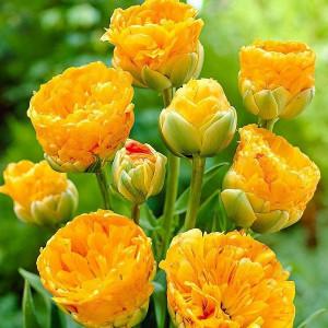 Тюльпан Махровий + Багатоквітковий Double Beauty of Apeldoorn 10/11