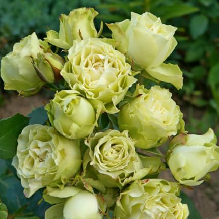 Роза спрей Лувиана класс АА
