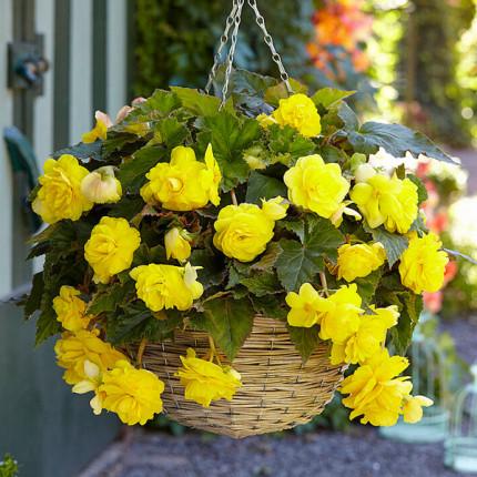 Бегонія ампельна з гігантськими квітками Жовта
