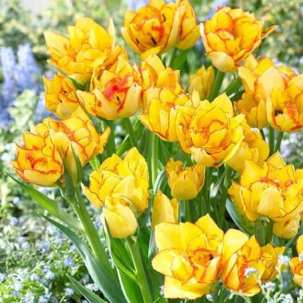 Тюльпан Махровый + Многоцветковый Aquilla 11/12