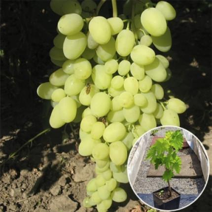 Виноград Долгожданный (контейнер 2 л)