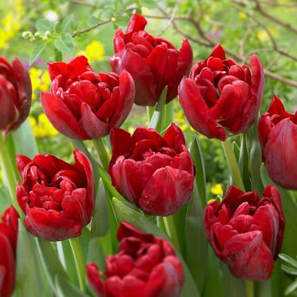 Тюльпан махровий Scarlet Verona 12/+