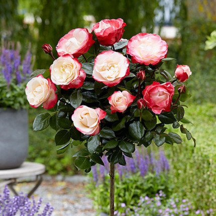 Роза штамбовая Дабл Делайт 2 прививки