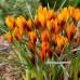 Крокус ботанический Orange Monarch 5/7 - оптом