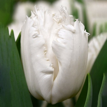 Тюльпан оторочений Smirnoff  12/+