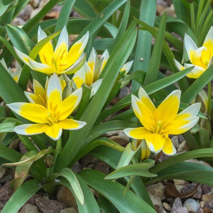 Тюльпан Ботанический Tarda 5/+