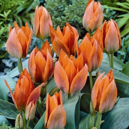 Тюльпан Грейга Orange Toronto 10/11