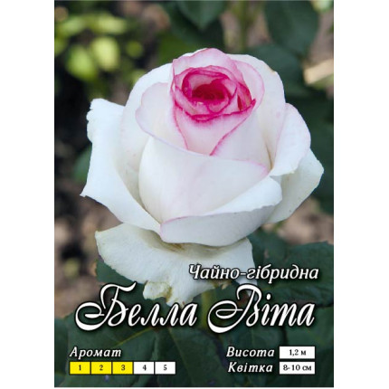 Троянда ч/г Белла Віта клас А