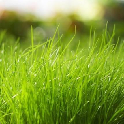 Трава Райграс многолетний  0.5 кг