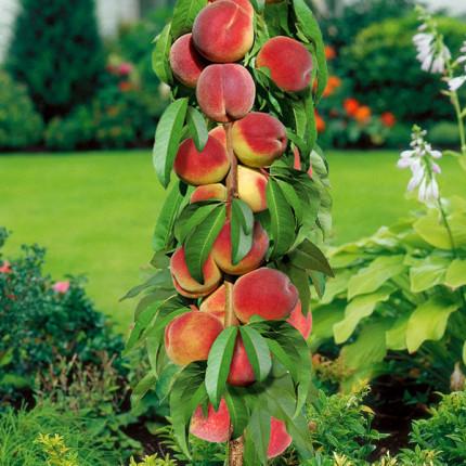 Персик колоновидный Золотой Триумф 1 класс
