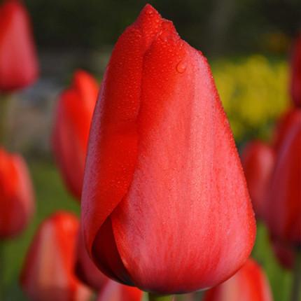 Тюльпан гибрид Дарвина Red Impression 12/+