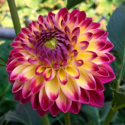 Жоржина з гігантською квіткою Hapet Daydream