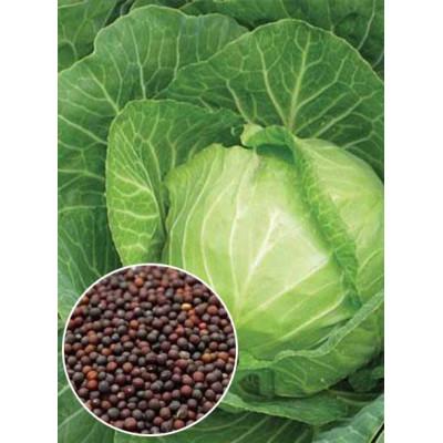 Капуста Кам'яна голова вагова (насіння) 1 кг - оптом