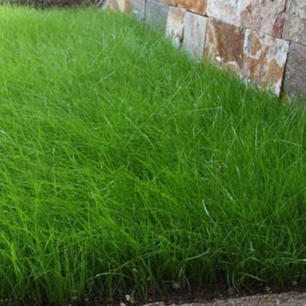 Трава многолетняя Райграсс Обрий 1кг