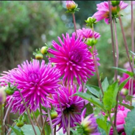 Георгина кактусовая Purple Gem