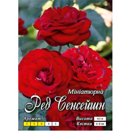 Троянда бордюрна Ред Сенсейшн (контейнер)