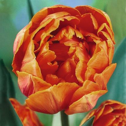 Тюльпан Махровый Orange Princess 10/11
