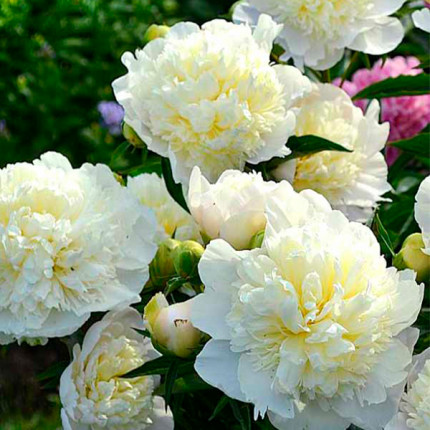 Півонія трав'яниста Duchesse de Nemours (Гігантська квітка)