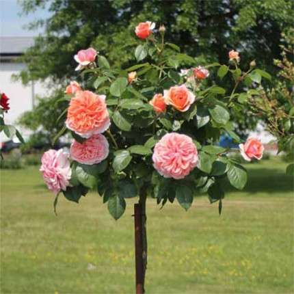 Роза штамбовая Tantau Чиппендейл (Chippendale) 2 прививки