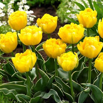 Тюльпан махровий Calimero 12/+