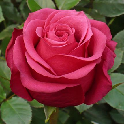 Роза ч/г Амалія клас А