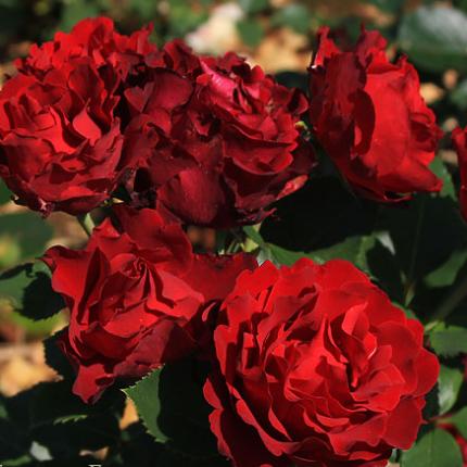 Троянда штамбова Барбара 1 прививка