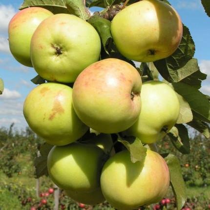 Яблоня колоновидная Малюха 1 класс