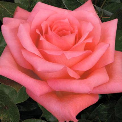 Троянда штамбова Дольче Віта 2 прививки