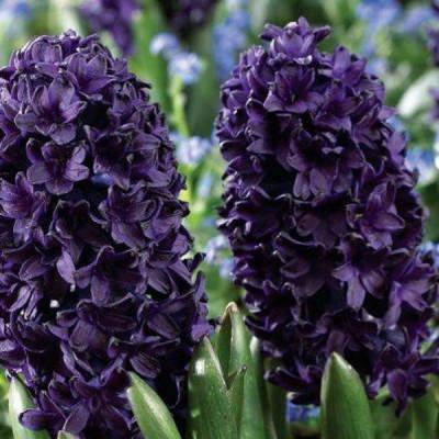 Гиацинт Blue Saphire 14/15 - оптом