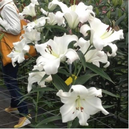 Лилия с гигантским цветком Appleton 12/14