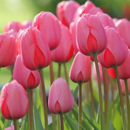 Тюльпан гибрид Дарвина Pink Impression 12+
