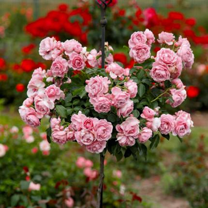Роза штамбовая Лили Марлен 2 прививки