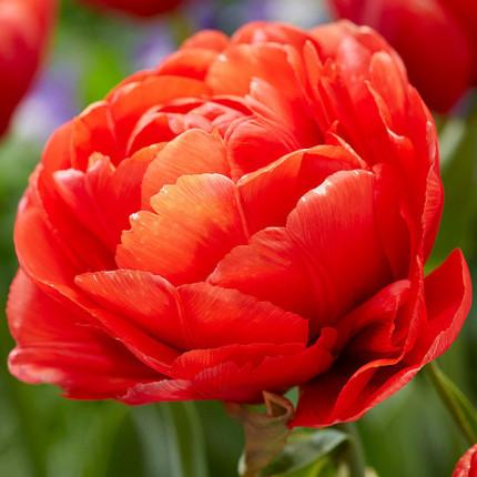 Тюльпан махровий Limerick 12/+