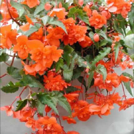 Бегония Ампельная Оранжевая