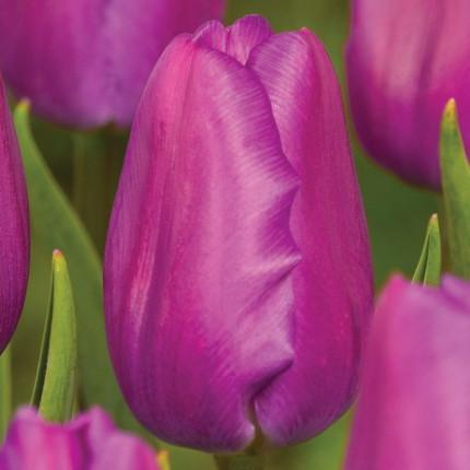 Тюльпан триумф Purple Flag 12/+