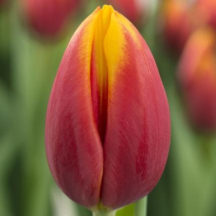 Тюльпан триумф Hennie Van der Most 12/+