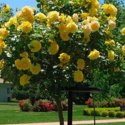 Троянда штамбова Голден Шоуерс  (плетиста) 1 прививка