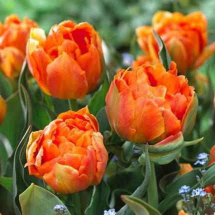 Тюльпан Махровый + Многоцветковый Orca 10/11