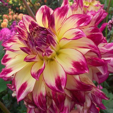 Жоржина з гігантською квіткою Zoey Rey