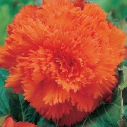 Бегония Фимбриата Оранжевая
