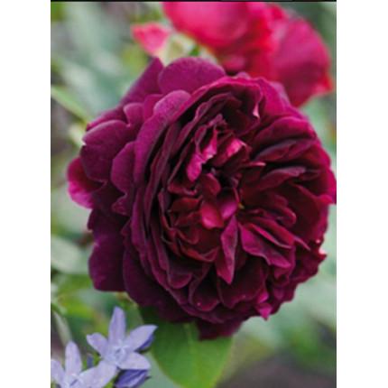 Троянда англійська Мунстед Вуд клас А