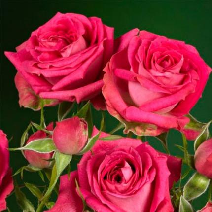 Троянда спрей Меджік Пепіта клас  А