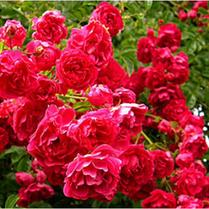 Троянда штамбова плетиста Ексельза 1 прививка