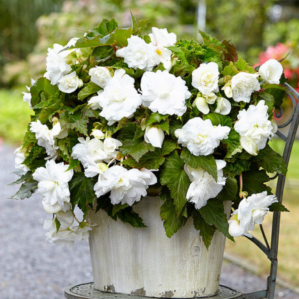 Бегония ампельная с гигантскими цветками Белая
