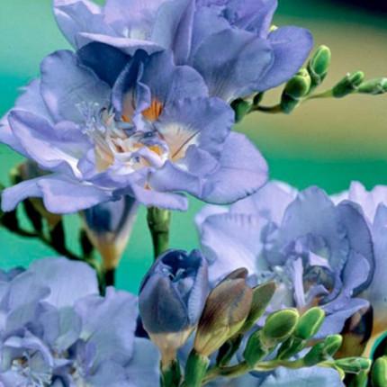 Фрезия махровая Blue